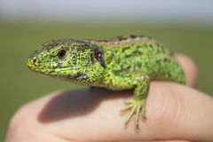 Lizard looks. At the man Stock Image