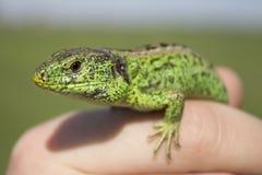 Lizard looks Stock Image
