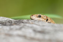 Lizard looks skeptical Royalty Free Stock Image