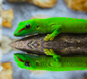 Lizard looks to her reflection in water Stock Photos