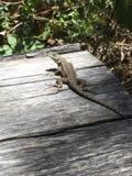 Lizard looks Stock Images