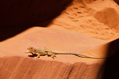 Lizard in Lower Antelope Canyon Royalty Free Stock Photo