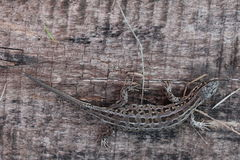 A lizard Stock Images