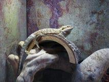Lizard lying down. stock photo