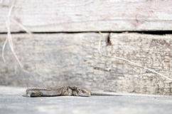 Lizard lying paw up Royalty Free Stock Image