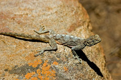 Lizard lying on rock. High angle side view of lizard lying on rock Stock Photos