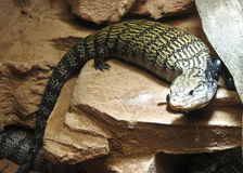 Lizard lying on the stone. Stock Photos