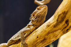 Lizard lying on top of branch Royalty Free Stock Images