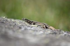 Lizard lying on a warm wall Stock Photos