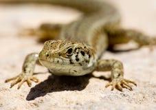 Lizard Macro Royalty Free Stock Photo