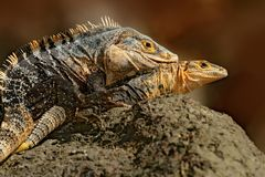 Lizard mating. Pair of reptiles, Black Iguana, Ctenosaura similis, male female sitting on black stone, chewing to head, animal in Royalty Free Stock Images