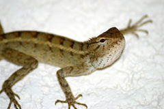 Lizard (Mauritius) Stock Photo