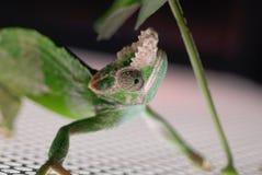 Lizard on Metal Royalty Free Stock Photography