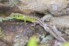 Lizard molting in spring stock photography