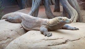 Lizard monitor Royalty Free Stock Image