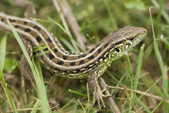 Lizard in mountain of the caucasus. Lizard on green herb in mountain of the caucasus in pose of protection Stock Images