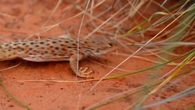 Lizard moving under thick grass Royalty Free Stock Photos