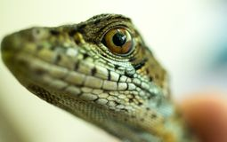 A lizard`s eye watches closely stock images