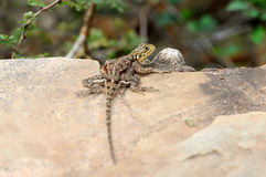 Lizard in National park of Africa Stock Photography