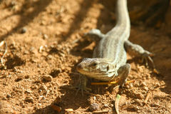 Lizard in natural environment Royalty Free Stock Photography