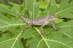 Lizard in the nature Stock Image