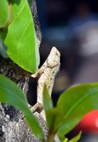 Lizard in nature climbs on the tree Royalty Free Stock Photos