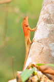 Lizard  in nature Stock Image