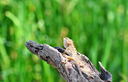 Lizard in nature,iguana Stock Photo