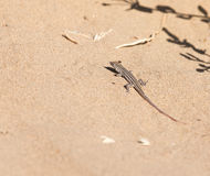 Lizard in the nature. A photo Royalty Free Stock Image