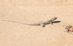 Lizard in the nature. A photo Royalty Free Stock Photography
