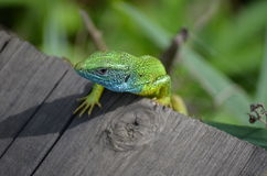 Lizard 2 Royalty Free Stock Images