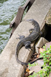 Lizard. Near water front Stock Photo