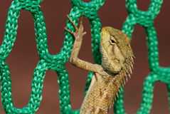 Lizard and net. At the sport center stock photography