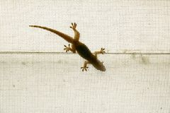 Lizard on the net. Lizard climbing on the mosquito net Royalty Free Stock Image