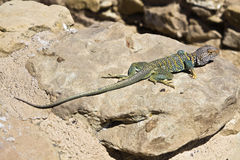 Lizard in New Mexico Royalty Free Stock Photos