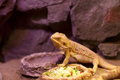 Lizard next to plate of food Royalty Free Stock Image