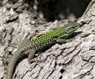 Lizard on olive tree Stock Image