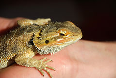 Lizard On A Hand Stock Photography