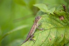 Free Lizard On A Leaf Stock Image - 181363981