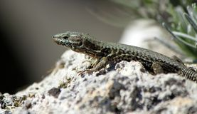 Lizard On A Stone Royalty Free Stock Image