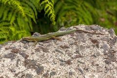 Free Lizard On Rock Royalty Free Stock Photo - 31897205
