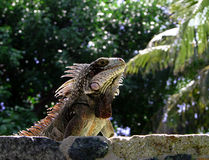 Lizard On Stone Wall Stock Photos