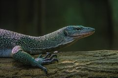 Lizard. One of the many species of lizards. The photo was taken from the zoo in Warsaw Stock Photography