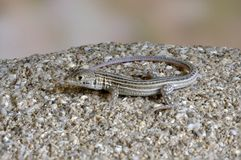 Lizard Ophisops elegans. On a stone Stock Images