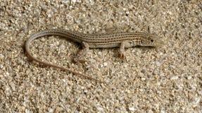 Lizard Ophisops elegans. On a stone Stock Photo