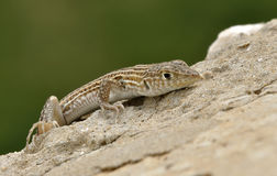 Lizard Ophisops elegans. On a stone Royalty Free Stock Images