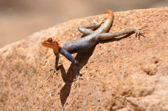 Lizard with orange head Royalty Free Stock Images
