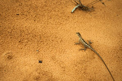 Lizard on orange sand top view Royalty Free Stock Photography