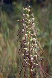 Lizard Orchid Stock Images