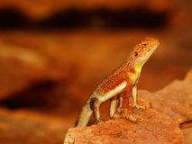 Lizard in the Outback. Lizard resting on Rock in the Outback royalty free stock photos